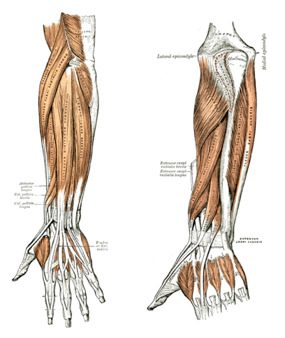 Self Myofascial Release of Forearm